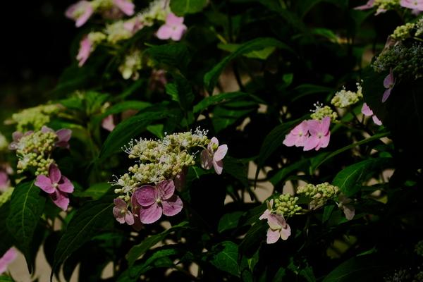 紫陽花の季節になりましたサムネイル